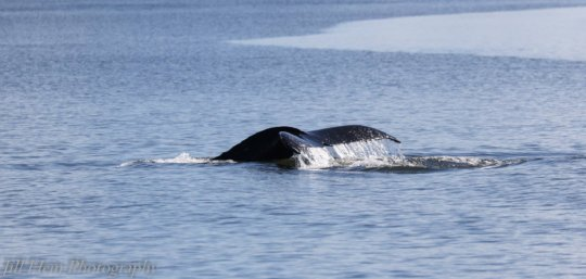 Saratoga Passage Humpback fluke, by Jill Hein