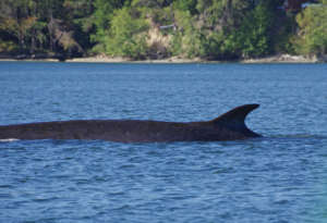 Fin whale in south Puget Sound, K.Merriman