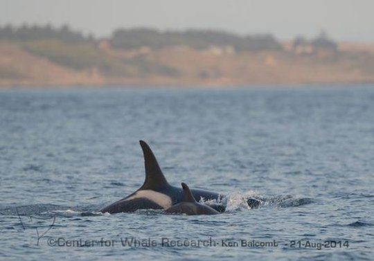 L120 & L86, by Center for Whale Research