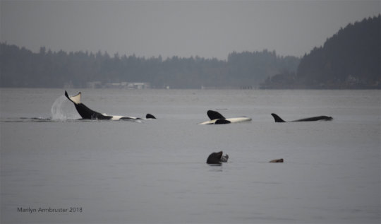 Playful J pod and sea lions! by Marilyn Armbruster