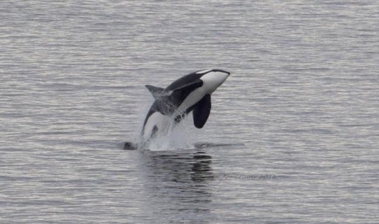 Breaching Bigg's Orca, Whidbey Is. by M Armbruster