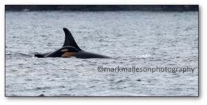 New calf J53, by Mark Malleson, courtesy CWR