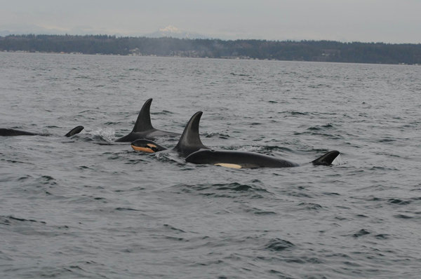 J55 & family in Puget Sound 1-18-16, NOAA/NWFSC
