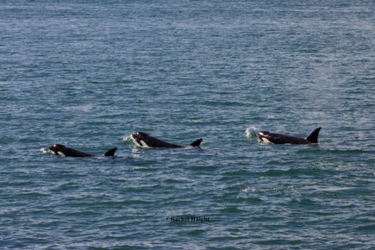 Bigg's Orcas off Whidbey Isl. in Sept; R. Haight