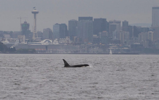 Bigg's orca T65A2 in Puget Sound, S.Davidson