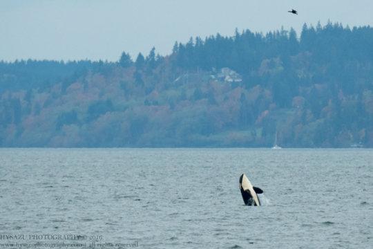 Resident orca near Seattle, Oct.24; Hysong-Shimazu
