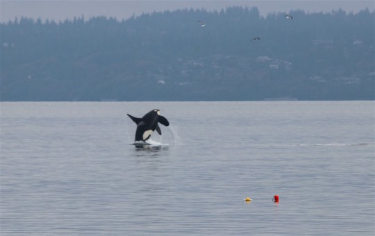 J pod breach off Kingston, WA in Oct, by Sara Frey
