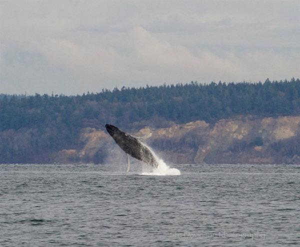 Breaching Humpback, Eglon, 12-29-15, Stu Davidson