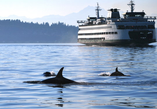 Orcas can often be seen from WA State Ferries too!