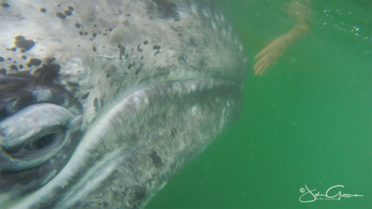 Friendly Gray - San Ignacio Lagoon; John Gussman