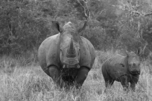These 2 rhinos were killed earlier this year.