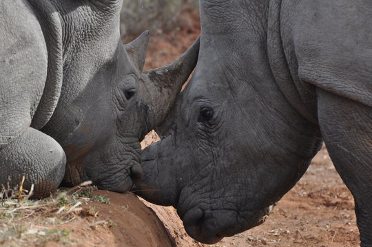 The brave rhinos who escaped from the poachers