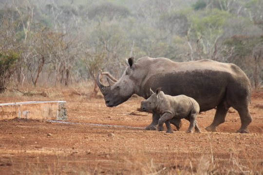 Protect the threatened White Rhino in South Africa - Give Green
