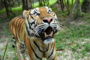 It is estimated on 3,000 wild tigers survive.