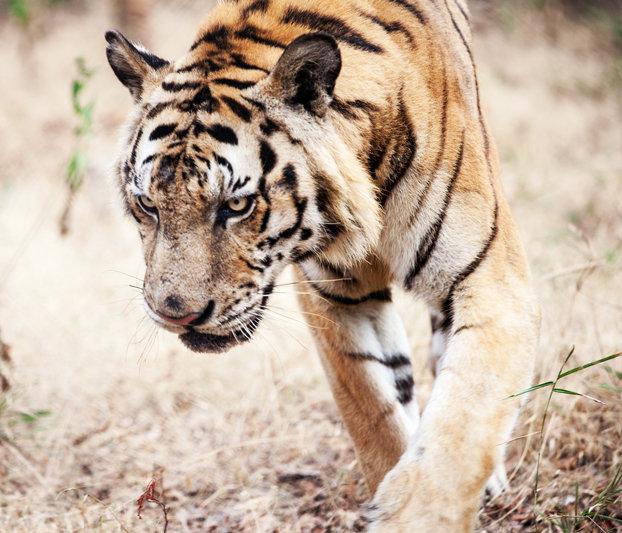 Tiger habitat is shrinking at an alarming rate.
