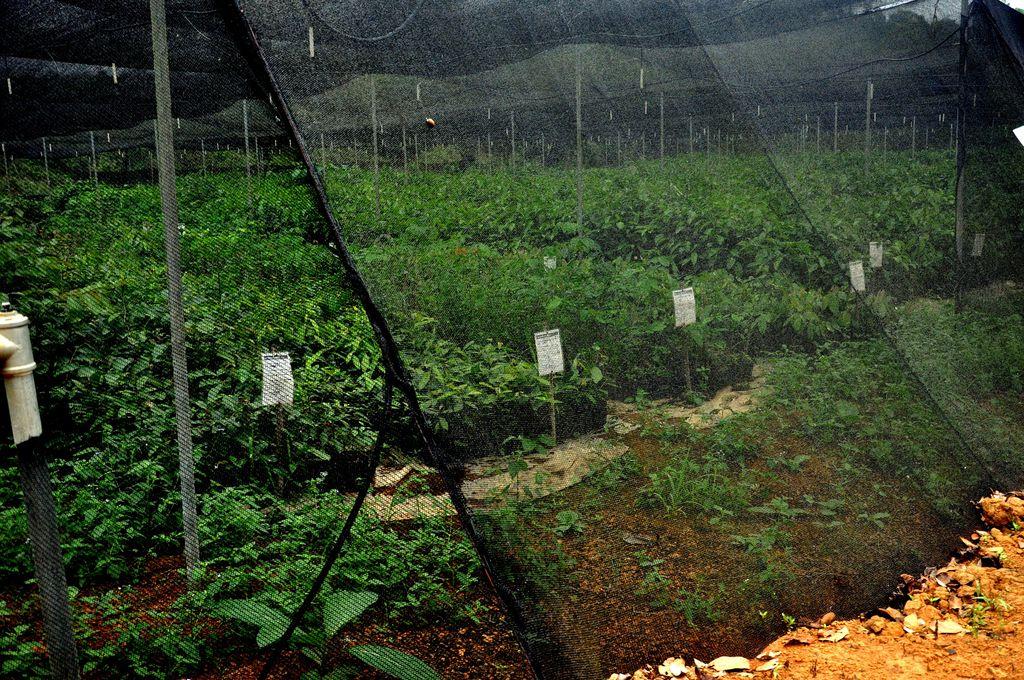 Saplings Maturing Under the Shade Nets