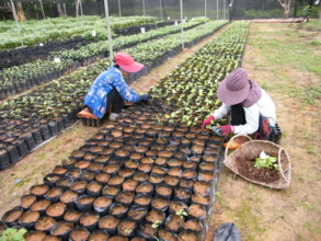 Transferring seedlings to a shade net