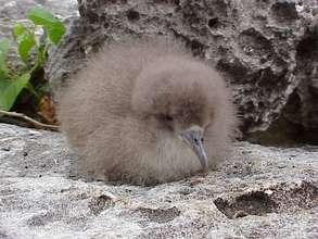 Shearwater chick