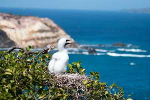 Red-footed Booby chick in nest on Battowia island