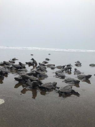 seaturtles on the way to the ocean