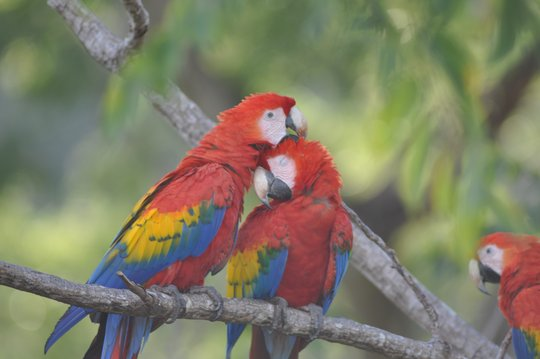 Scalet Macaws living on the wild