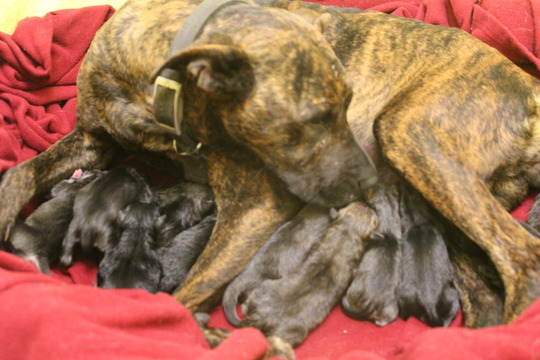 13 puppies - and one tired mama!