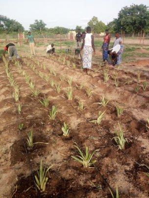Pineapple plantation at the LAP