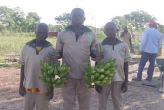 Harvest of bananas