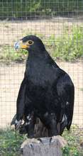 Provide food & care for our Verraux Eagle