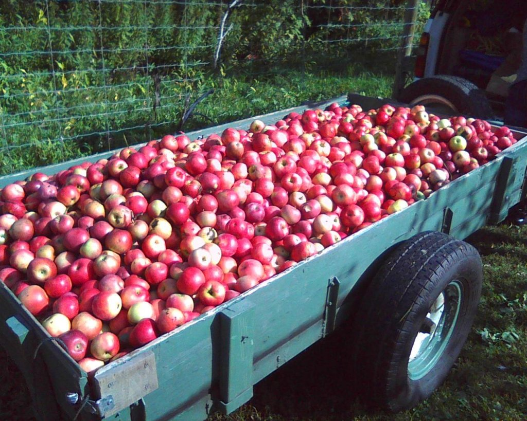335 pounds of harvest for the local food bank!