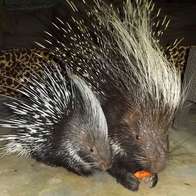 Spikey and baby share a carrot