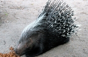 Feed our porcupine, Yster, for a year!