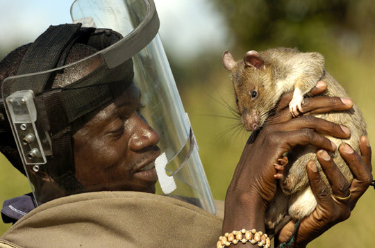 Tanzanian trainers love their HeroRATs!