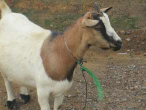 A goat found in a neignbourhood during  monitoring
