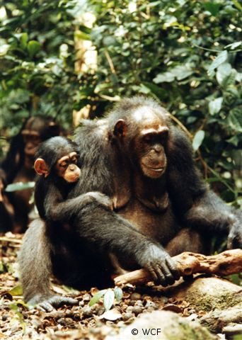 Save 2000 chimpanzees in West Africa