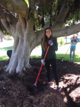 Youth Manager Paloma weeds and mulches tree ring