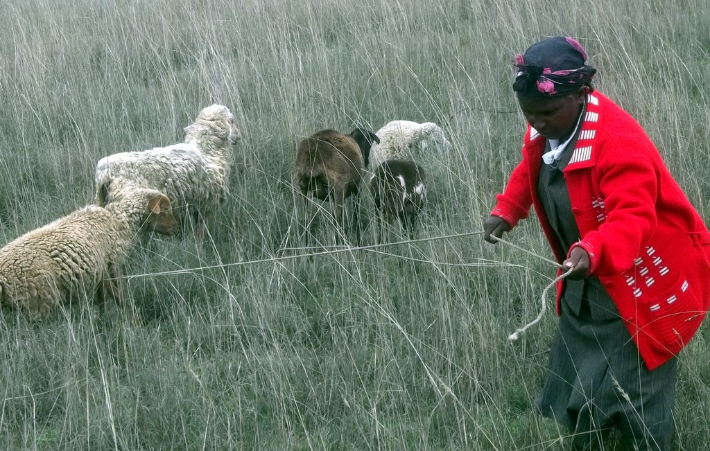 """A """"Sheep Grandmother"""" in the fields of Ndathi"""