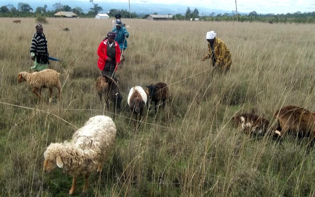 """""""Sheep Grandmothers"""" in Ndathi, Kenya"""
