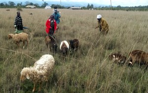 """Sheep Grandmothers"" in Ndathi, Kenya"