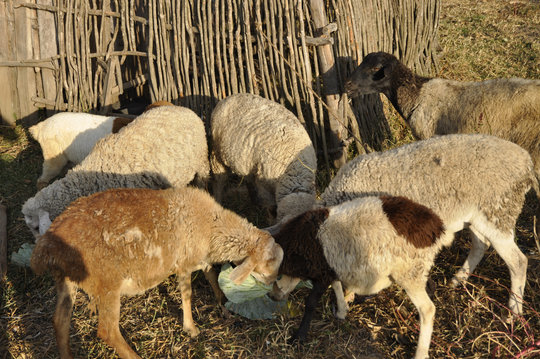 Mary Wanjiku's Flock of Sheep in Ndathi, Kenya