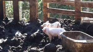 Piglets in our brand new piggery