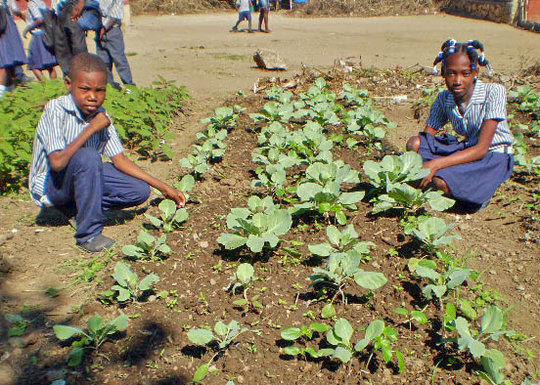 Chinese Cabbage, School Garden, Haiti