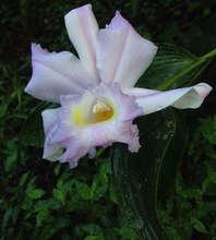 Flor de Un Dia, blooms November to April