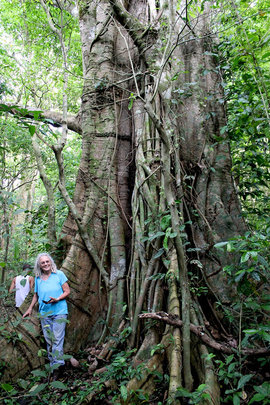 Big Fig in the San Luis forest