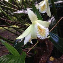 A rare Flor de Un Dia