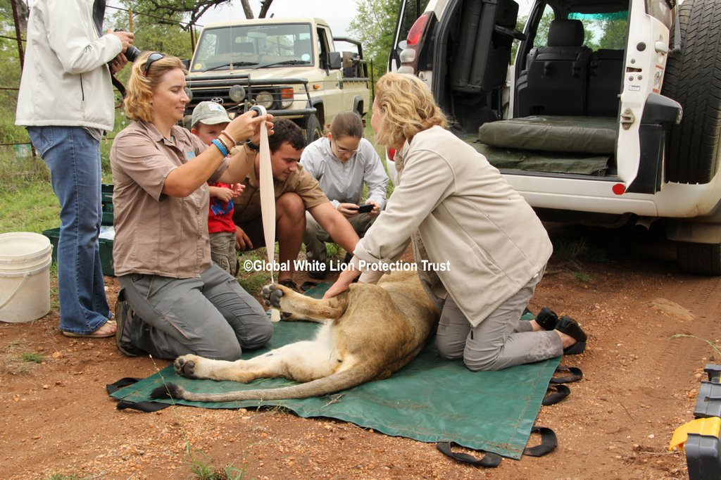 Darting and Release of New Lioness