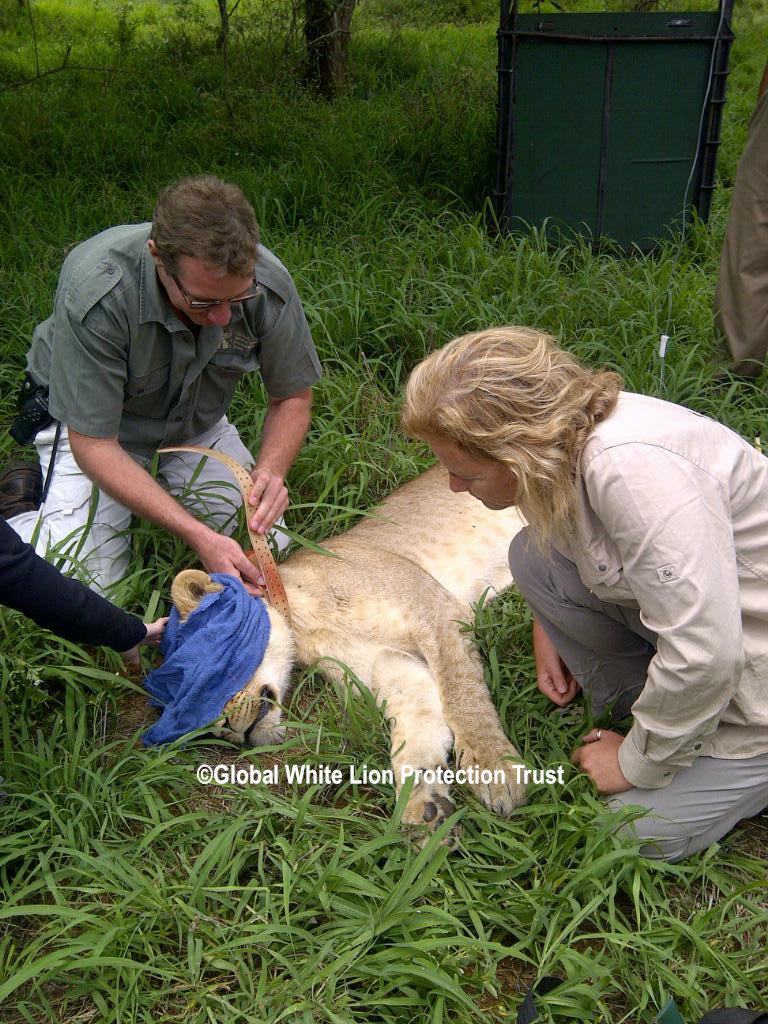Radio Collaring New Lioness
