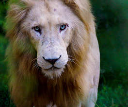 A Month of Freedom for the Tsau White Lion Pride