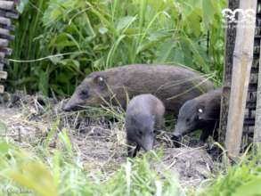 Without conservation pygmy hogs would be extinct