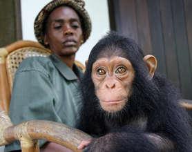 Sam, an orphaned chimpanzee